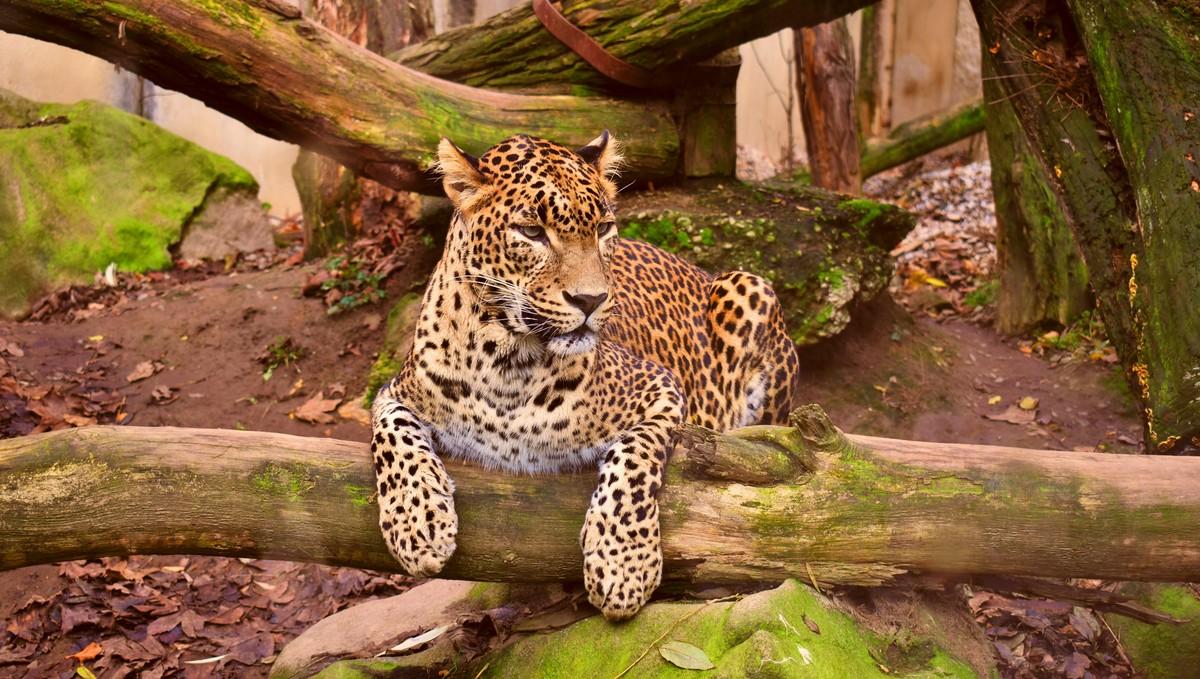 Gepard štíhlý odpočívající na spadlé větvi stromu.