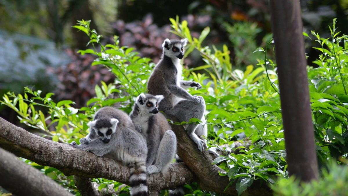 Jeden lemur vedle druhého si užívají chvíle klidu.