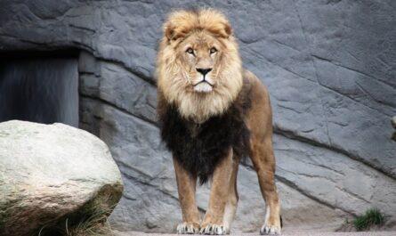 Lev, který je považován za pomyslného krále zvířat.