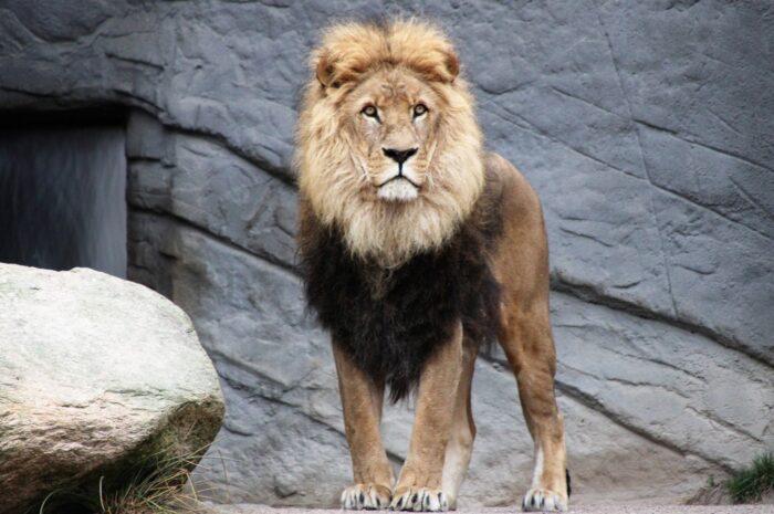 Lev v roli právoplatného krále zvířat