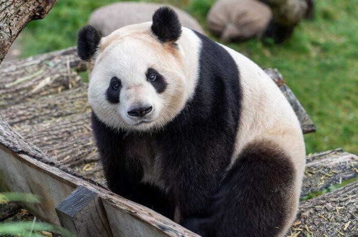 Panda velká je miláčkem už od pohledu