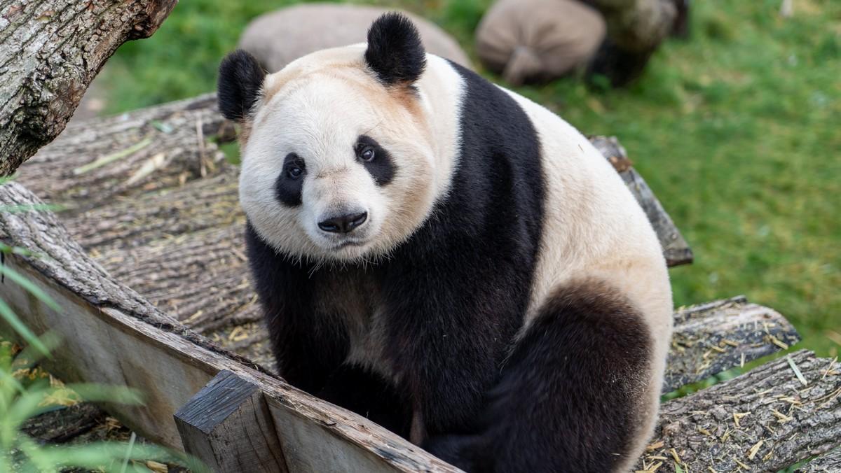 Panda velká si hoví a spokojeně relaxuje.