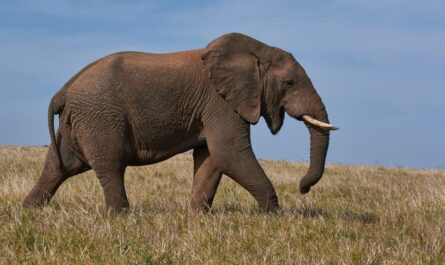 Slon procházející se po afrických pastvinách.
