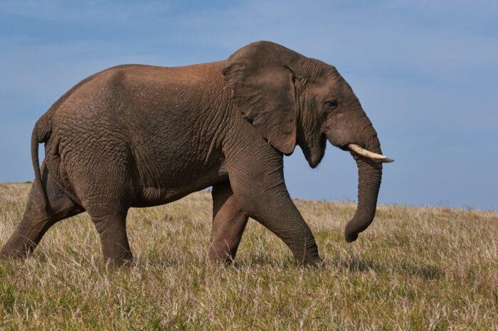 Slon jako největší suchozemský savec planety