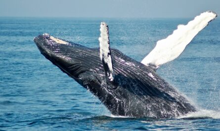 Velryba grónská vyskočila nad vodní hladinu.