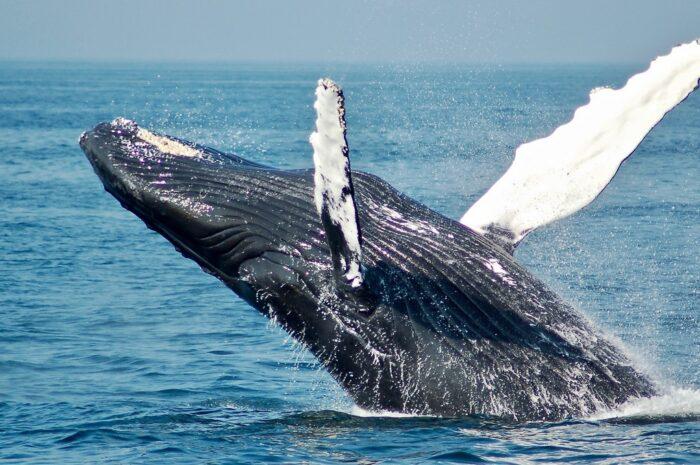 Velryba grónská je nejdéle žijícím savcem planety