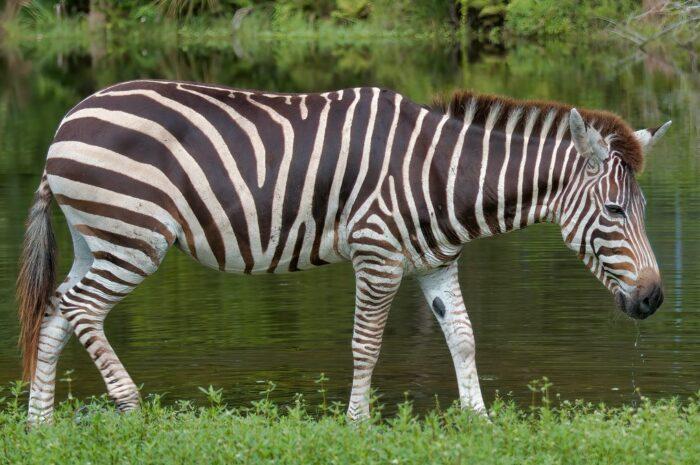 Zebra – Kůň, který nikdy nebyl koněm
