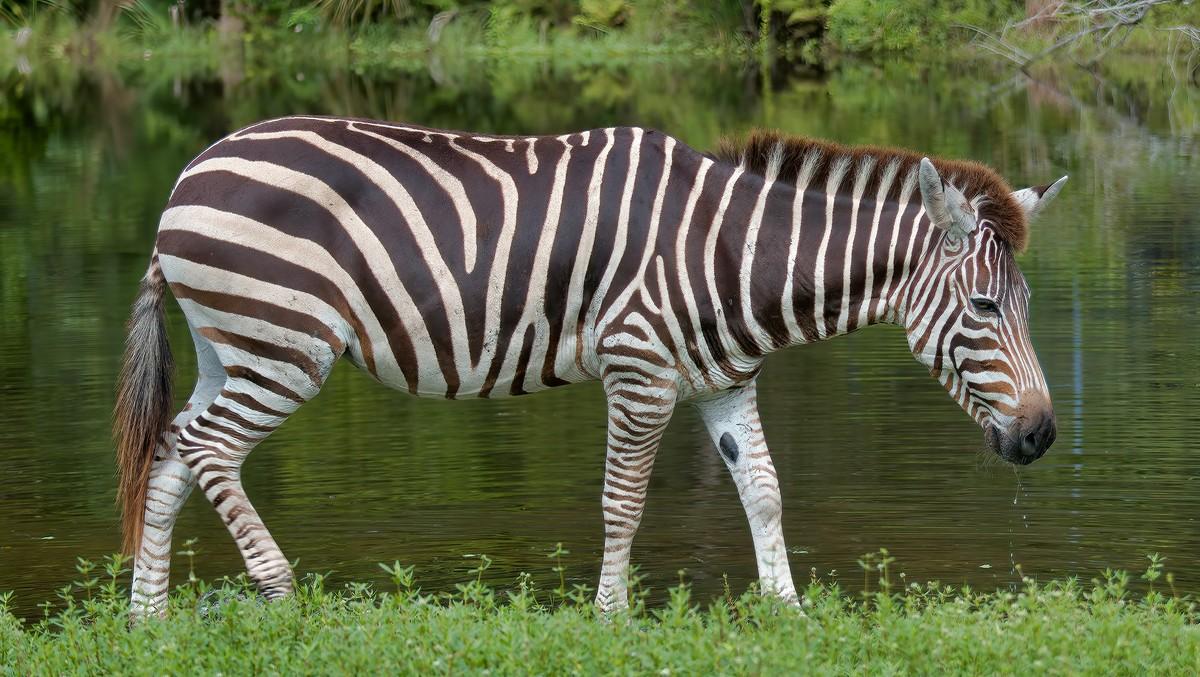 Zebra pasoucí se spokojeně u vodní plochy.