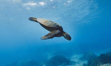 Vodní želvy plující pod mořskou hladinou.