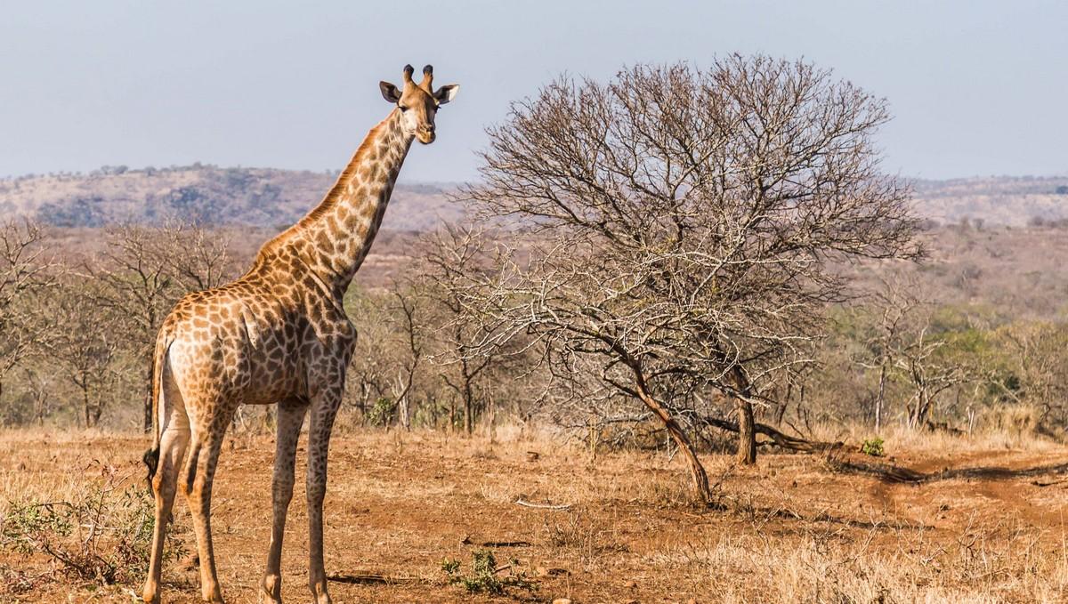 Žirafa vystavující se na vyprahlé pláni.